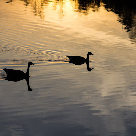 Silhouettes  by Silvana Schevitz - City,  Street & Park  City Parks ( #sunset #birds #lake )