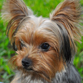 Lil' Louie. by Jacquie Wooten - Animals - Dogs Portraits