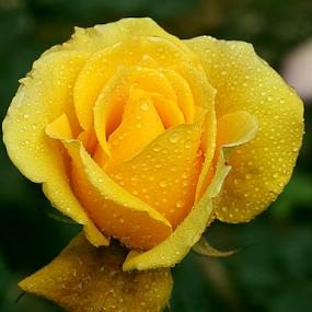 fresh! by Bharat Dudeja - Flowers Single Flower ( rose, macro, nature, yellow, garden, flower, droplets,  )