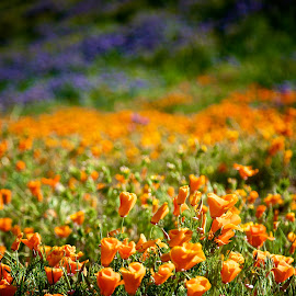 Welcome to Oz by Dean Mayo - Landscapes Prairies, Meadows & Fields ( field, california, poppy flower, spring, flower )