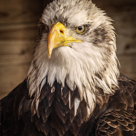 Staring by Garry Chisholm - Animals Birds ( bird, garry chisholm, eagle, nature, wildlife, prey, raptor )