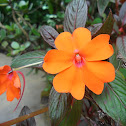 Busy Lizzy, Balsam or simply Impatiens