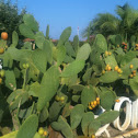 Fico d'India - prickly pear cactus
