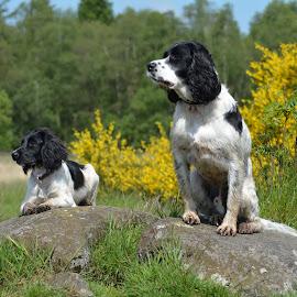 Waiting for the next command by Neil Stevenson - Animals - Dogs Portraits ( springer, spaniel, freya, ess, charlie,  )