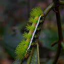 Automeris Moth Caterpillar