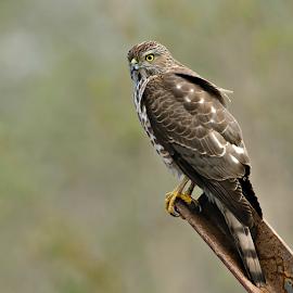 Accipiter Badius (Shikra) by Arun Bhardwaj - Animals Birds