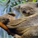 Koala Puzzle icon
