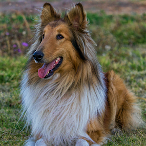 Collie Portrait by Cristobal Garciaferro Rubio - Animals - Dogs Portraits ( colli, pose, dog, posing, male collie )