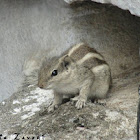 Three-striped palm squirrel