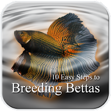 10 Easy Steps to Breed Bettas