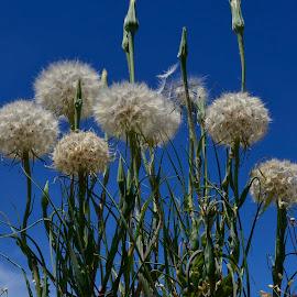 Large dandelions by Denton Thaves - Nature Up Close Leaves & Grasses ( dandelion )