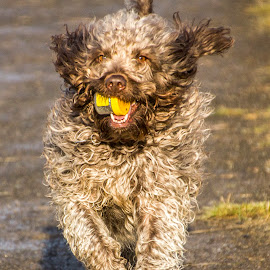 Jazz in winter sun by Colin Waite - Animals - Dogs Running ( dog playing runing fur ears tail fun labradoodle )