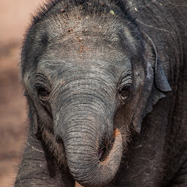 Baby Elephant by Sasanka Gamage - Animals Other Mammals