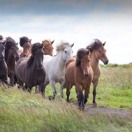 Riding tour by Anna Guðmundsdóttir - Animals Horses ( iceland, icelandic horses, horses, íslenskir hestar, hestar, riding tour, ísland,  )