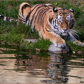 by Renos Hadjikyriacou - Animals Lions, Tigers & Big Cats (  )