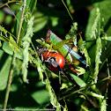 Handsome Meadow Katydid (female)