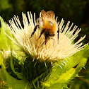 Common carder bee in Cabbage Thistle