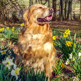 Bliss by Jennifer McWhirt - Animals - Dogs Portraits ( animals, dogs, photographybyjenmcwhirt.com, hendersonville, tennessee, golden retriever )