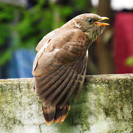 Common Hawk Cuckoo or Brain Fever by Asim Mandal - Animals Birds