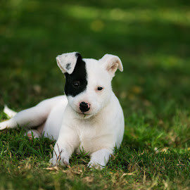Miss T by Benita Walker - Animals - Dogs Puppies ( puppies, animals, dogs, nature, atineb57, portrait, passionfruit photography )