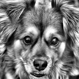 my little girl whinnie by Erin O'Daniel - Animals - Dogs Portraits ( black and white, animal )