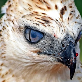 Elang by AbngFaisal Ami - Animals Birds