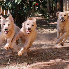 Dinner Whistle by Julie Blight - Animals - Dogs Running ( dogs, joy, original, running, golden retriever,  )