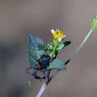 Coreidae sp.