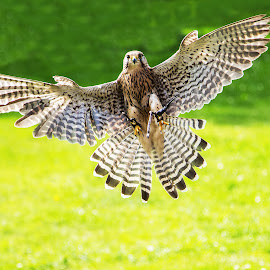 In Flight by Tracey Taylor - Animals Birds ( bird, flying, flight, bird of prey, kestrel )