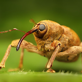 Big nouse by Ondrej Pakan - Animals Insects & Spiders ( macro, macro photography, weevil, insect, snout beatle )
