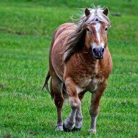 Haflinger horse by Sandy Scott - Animals Horses ( horse trotting, horse, large horse, austrian horse, haflinger horse )