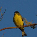 Lesser Goldfinch (black-backed)