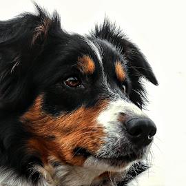 Yoshi by Marjan Smit - Animals - Dogs Portraits ( hond, portret, tricolor, driekleur, bordercollie, dog, portrait )