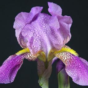 A Purple Iris by Steve Edwards - Flowers Single Flower ( single flower, purple iris, iris, flowers, flower,  )
