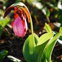 Pink Ladies Slipper Orchid