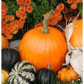 Pumpkin Bunch by Rob King - Nature Up Close Gardens & Produce ( gourd, orange, pumpkin, autumn, colorful, fall, mums, thanksgiving, halloween )