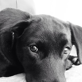 Black labrador by Michele Williams - Animals - Dogs Puppies (  )