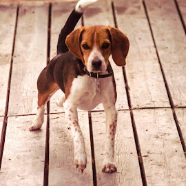Toby the Beagle  by Rachel Bellesen - Animals - Dogs Playing ( puppies, dogs, bellesen, toby, beagles )