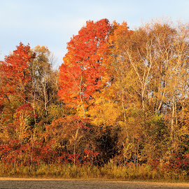 Welcoming Fall Color 12 by Terry Saxby - Nature Up Close Trees & Bushes ( color, terry, fall, trees, leaves, saxby, nancy )