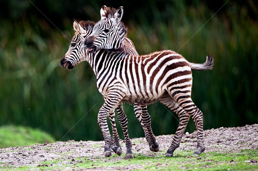 Little Zebras by Cristobal Garciaferro Rubio - Animals Other Mammals