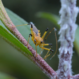 yellow insect by Casterino Rio - Novices Only Macro ( macro, green, bug, yellow, insect )