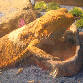 Where is my water? by Linda McCormick - Animals Reptiles ( i am thirsty, dragons are cool, lb, hello?, bearded dragon )