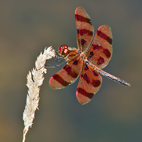 Halloween Pennant by Herb Houghton - Animals Insects & Spiders ( herbhoughton.com, dragonfly, halloween pennant )