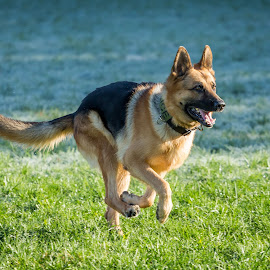 At full gallop by Leon Herbert - Animals - Dogs Running ( breed, g+, 20131028, leon herbert photography, dog, date, german shepherd, animal )