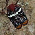 Eurybrachidae planthopper