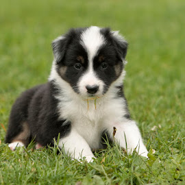 Puppy by Lynda Snowling - Animals - Dogs Puppies