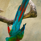 Red-and-green Macaw