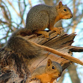 Squirels by Larry Strong - Animals Other Mammals ( animals, squirrels )