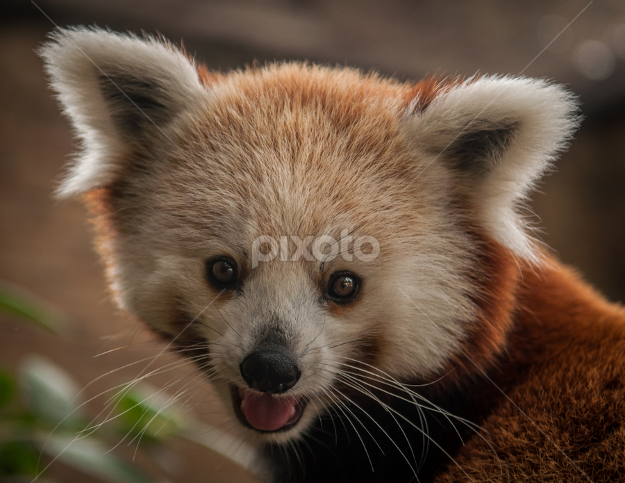 Nutmeg, the Red Panda by Joshua Arlington - Animals Other Mammals ( redpanda, animals, zoo, portrait, cute )