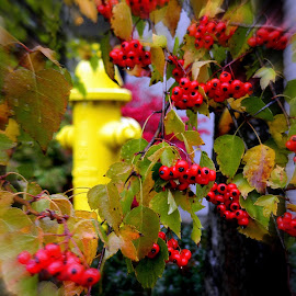 Berries and a fire hydrant by Liz Hahn - Nature Up Close Other plants